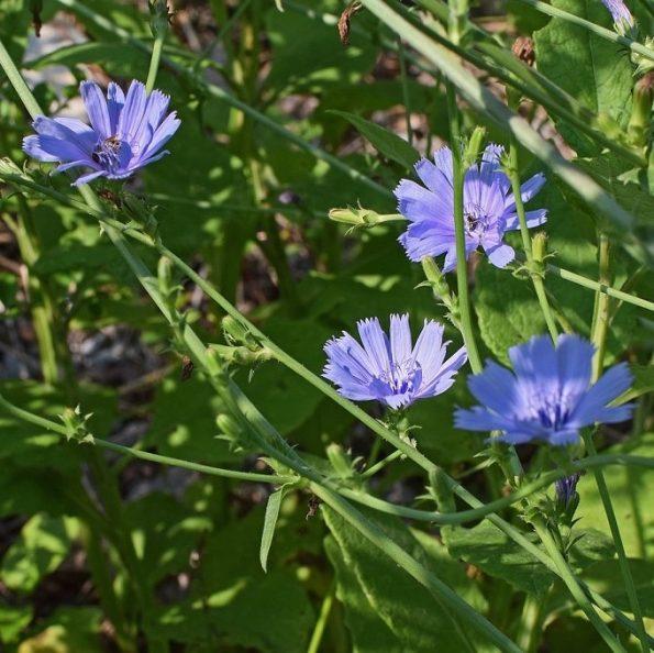 Cichorium-intybus, bloemenmengsel kopen, Herbaseeds, bloemenmengsel, inheems, bijenmengsel, vlindermengsel, uitheems, wilde planten zaden, wilde planten zaaien, bloemenzaden, goedkoop, voordelig