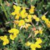 Lotus-corniculatus, Gewone rolklaver, bloemenmengsel kopen, Herbaseeds, bloemenmengsel, inheems, bijenmengsel, vlindermengsel, uitheems, wilde planten zaden, wilde planten zaaien, bloemenzaden, goedkoop, voordelig