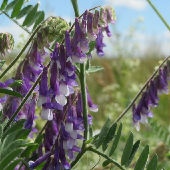 Vicia-villosa, bloemenmengsel kopen, Herbaseeds, bloemenmengsel, inheems, bijenmengsel, vlindermengsel, uitheems, wilde planten zaden, wilde planten zaaien, bloemenzaden, goedkoop, voordelig